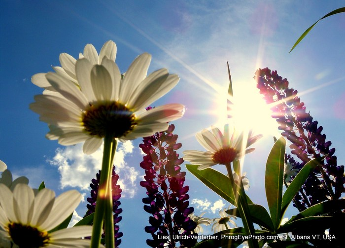 Image: Sun rays through wild flowers, taken at an upward angle