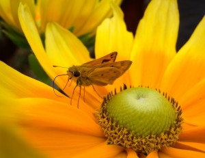 Image: Butterfly on a yellow flower