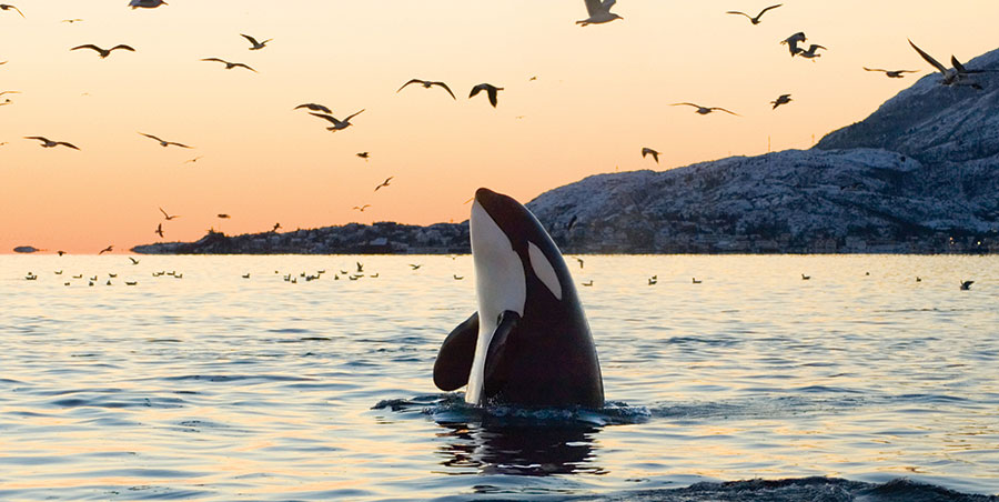 Image: An orca out of captivity