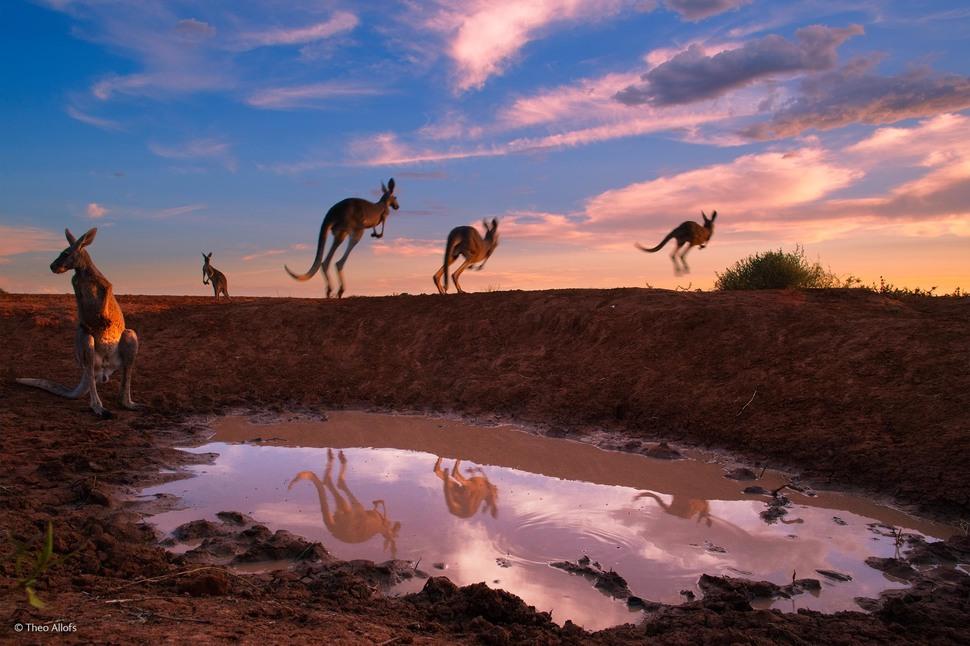 Image: 'Red Kangaroos at Waterhole' by Theo Allofs