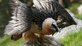 Image: Lammergeier or Bearded Vulture with wings spread