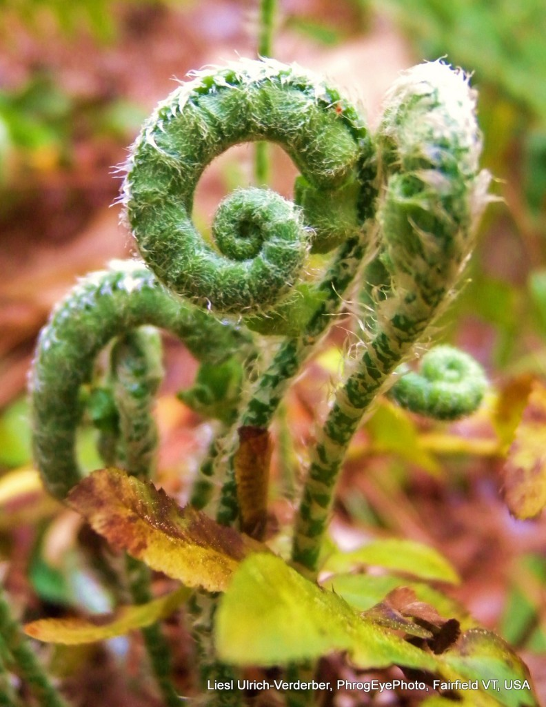 Image: Fiddlehead ferns
