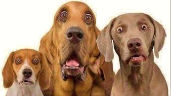 Image: Three dogs staring into nothing