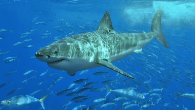 Image: We need sharks picture of a shark