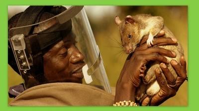 Image: Man holds up landmine-clearing rat