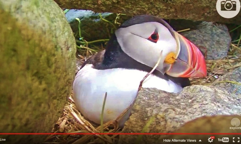 Image: A Puffin sitting in its burrow