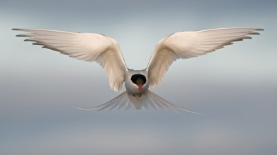 Image: Arctic Tern in Fligh