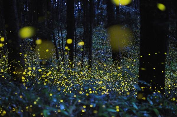 Image: fireflies in abundance
