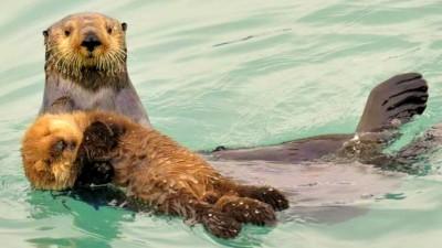 Image: Sea otters swimming