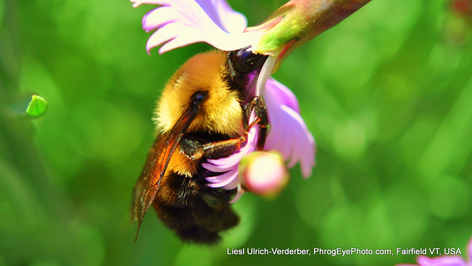 Image: Bumble Bee dangling from a flower