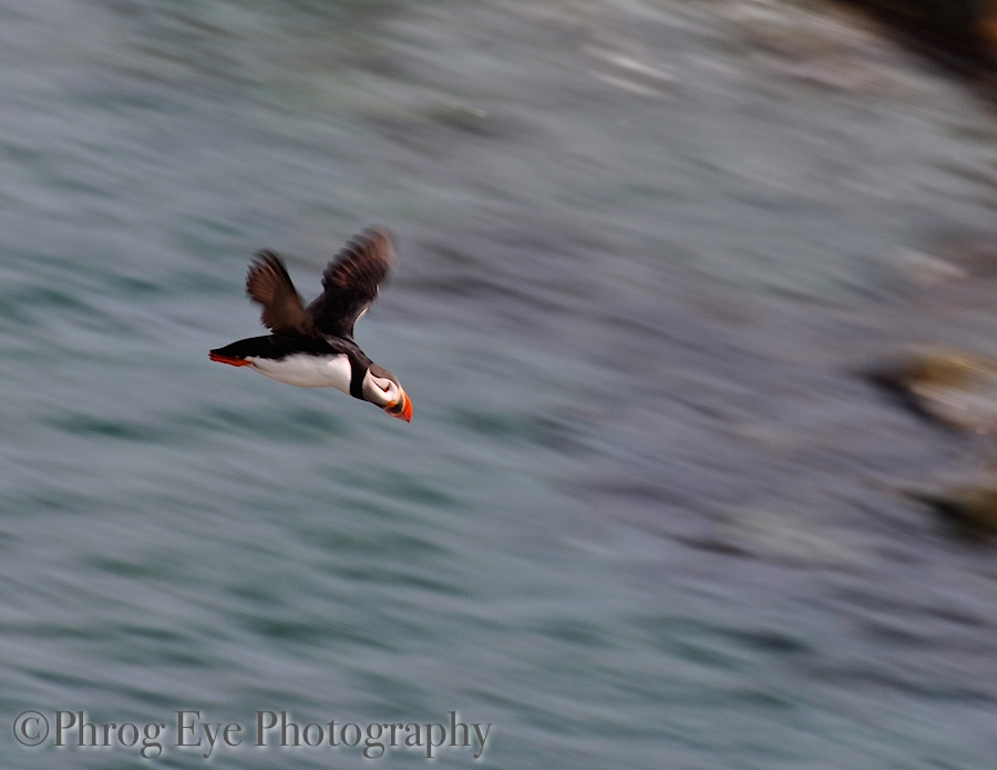 puffins in flight