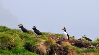 Image: Puffins nest on a cliff