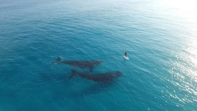 Image: Two whales looking at paddle boarder in Australia