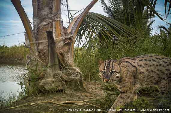 Image: Fishing cat by water