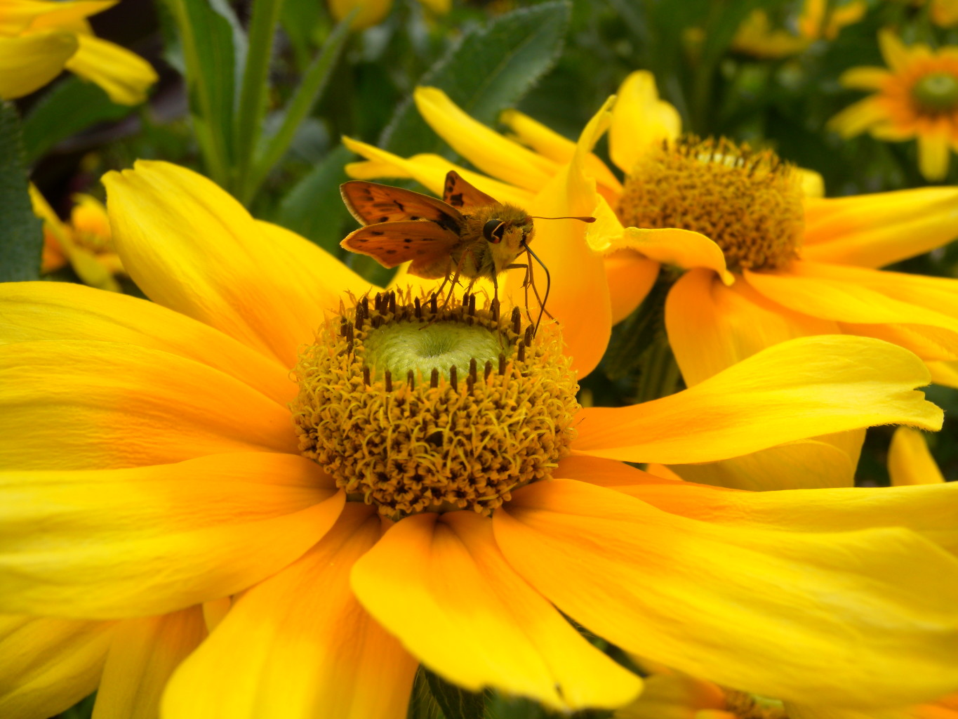 Image: Small Butterfly on a seemingly large yellow flower