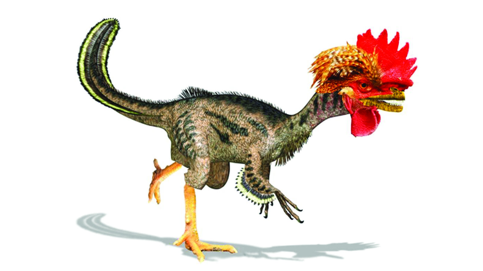 Turning Birds into Dinosaurs using gene therapy, the dino-chicken