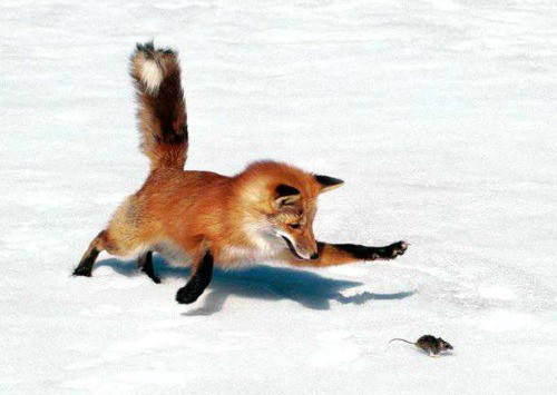 Image: Red Fox chasing a mouse in the snow: Rewilding.
