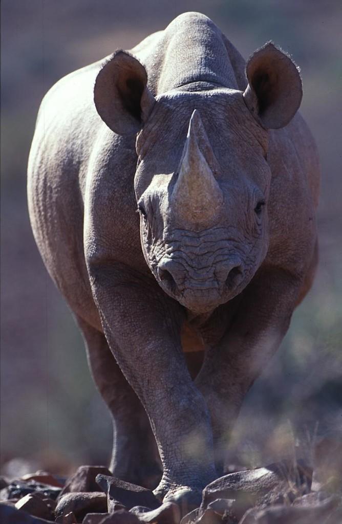 Image: Theo Allofs' charging rhino