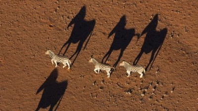 Theo's zebras with long shadows
