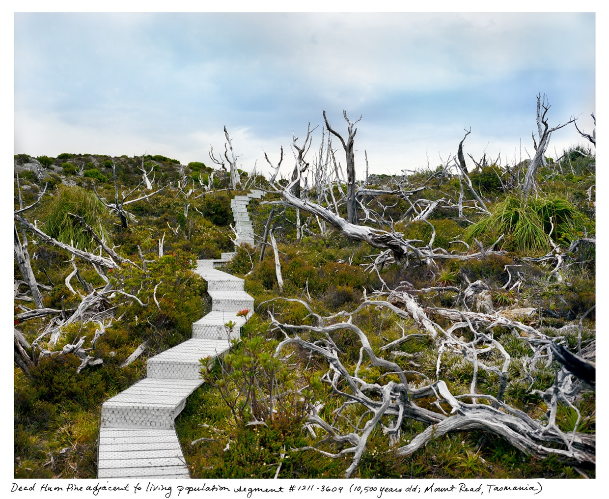 Dead and alive huon pine, some of the oldest living organisms.