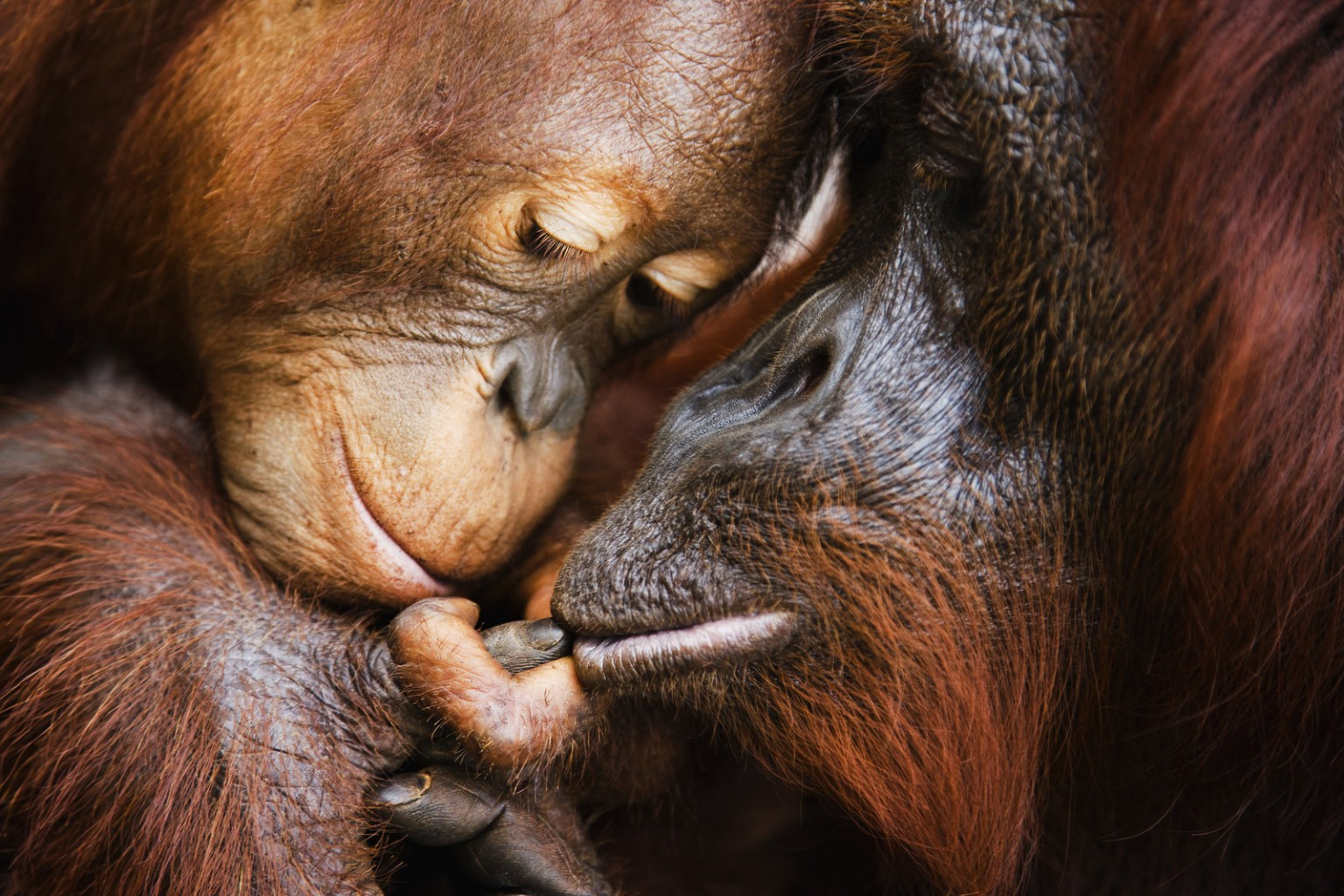 Image: A touching moment as an infant orangutan touches his mother's lip with his small finger ( Pongo pygmaeus ) and she wraps her big finger around his, Borneo, Indonesia