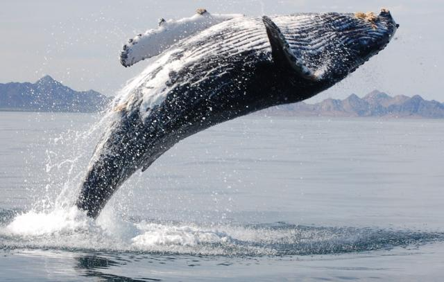 Saving the Life of a Humpback Whale | Ever Widening Circles