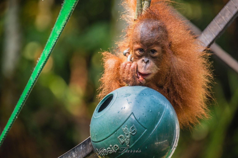 Image: A darling tiny baby orangutan with a ball