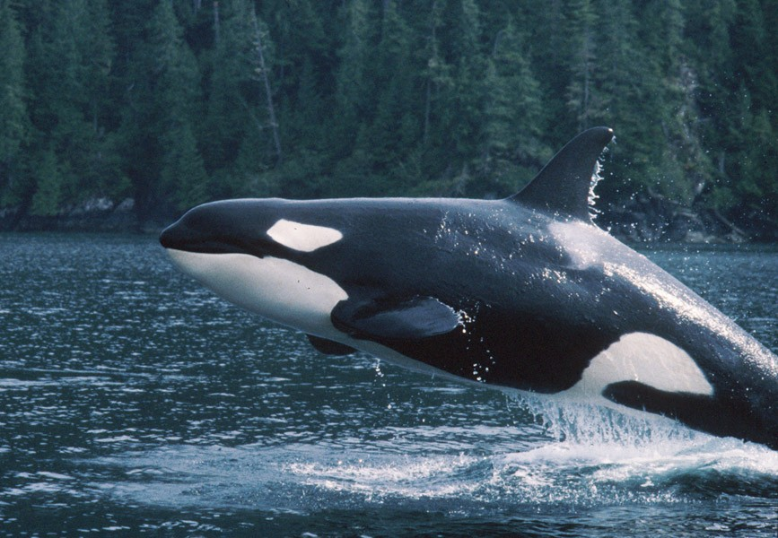 Image: A lone, beautiful killer whale in the wild jumping fully in the air
