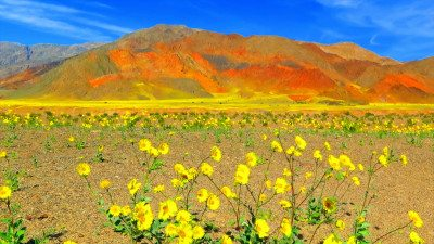 Image: Death Valley in full super bloom with yellow flowers in foreground and colorful hills in background