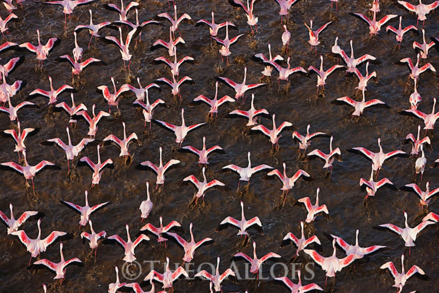 Image: Flamingos taking flight over a lake