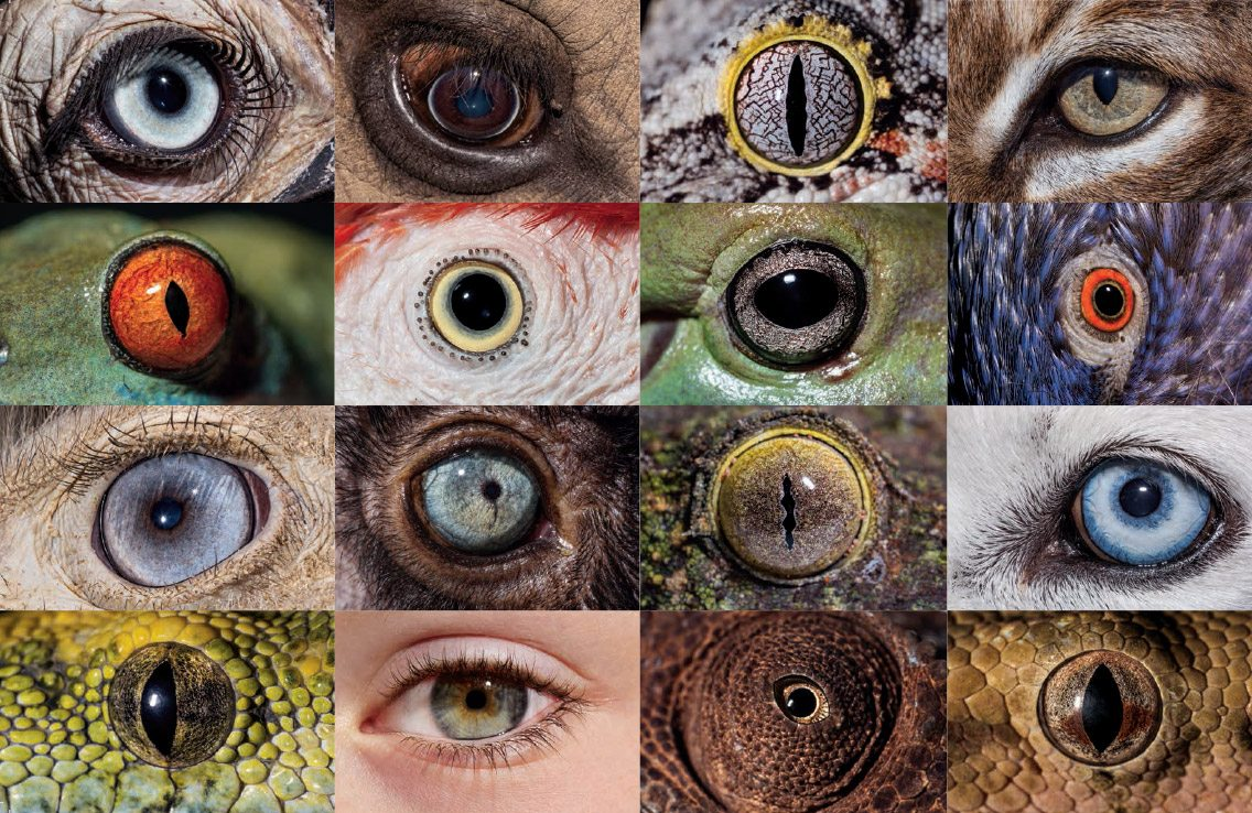 Animal Eyesight: collage of animal eyes
