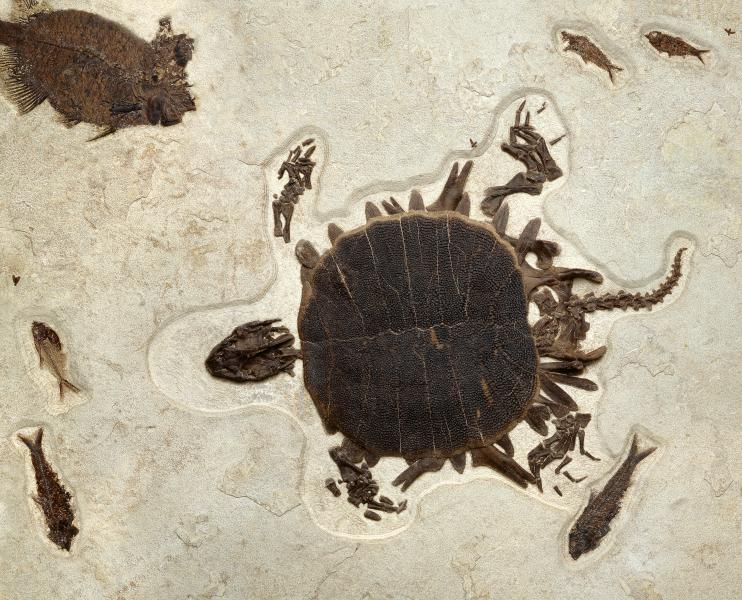 Turtle and fish fossils found while exploring Fossil Lake