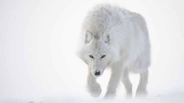 Image: Vincent Munier White Wolf