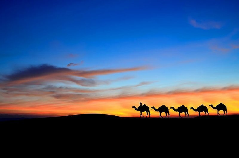 What can camels teach us: camel silhouettes in the desert moving across a sunset