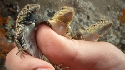 Side-blotched lizards in hand