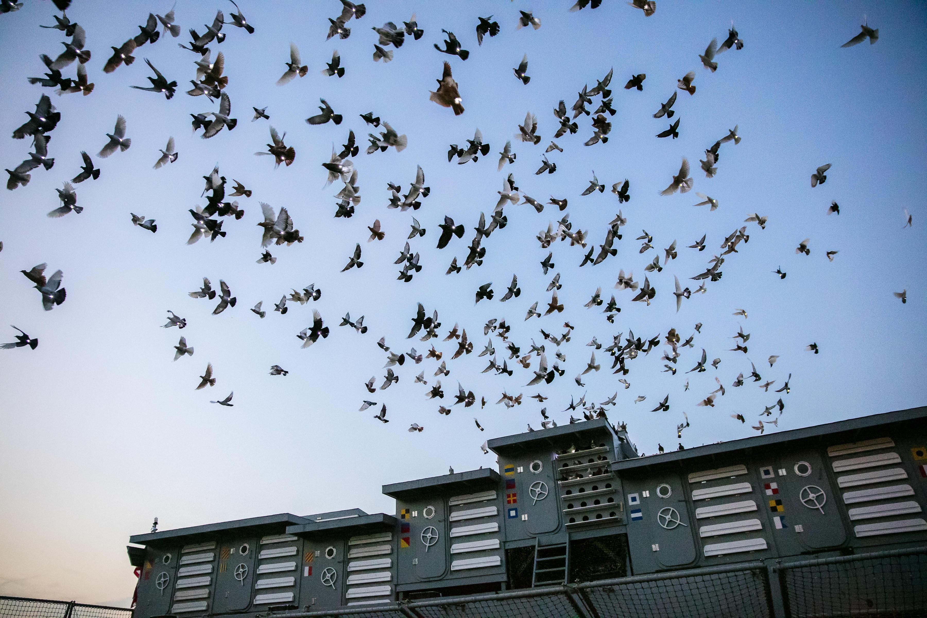 Pigeons Light Up the Night Sky