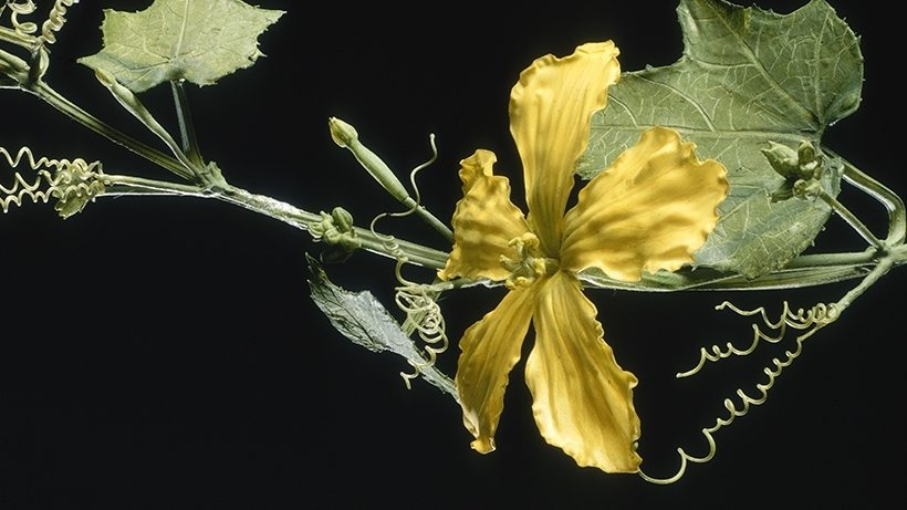 Image: Harvard's Glass Flowers Luffa flower and vine