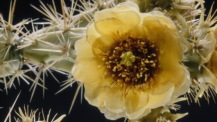 Image: Harvard's Glass Flowers Prickly Pear Flower