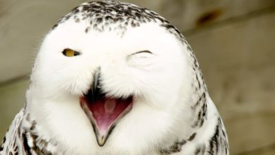 laughing snowy owl