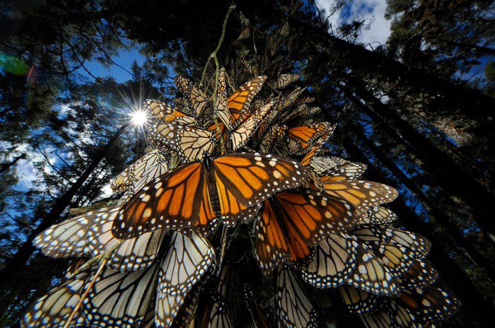 Image: Monarch Butterfly Migration. Millions of monarch butterflies