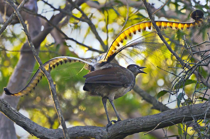 Image: Lyrebird in tree with sunlight shining through his plumage