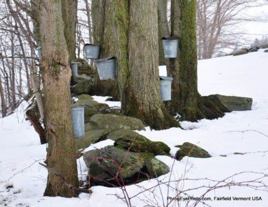 Image: Sap buckets hung on trees to collect for making maple syrup