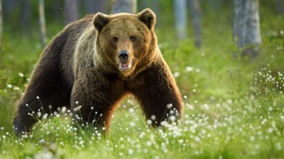 Image: European Brown Bear in forest meadow