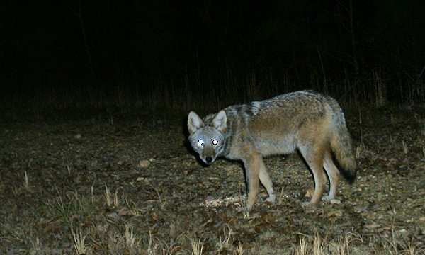 Image: Coyote in the yard at night