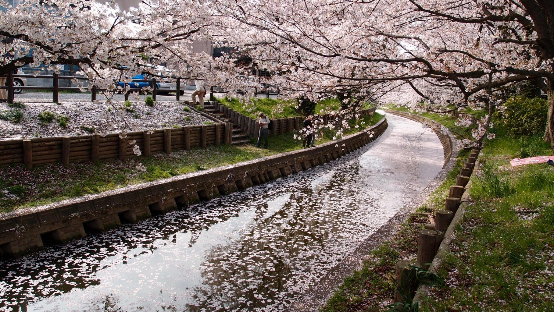 Image: Cherry trees in full bloom drop petals making a drainage ditch seem magical