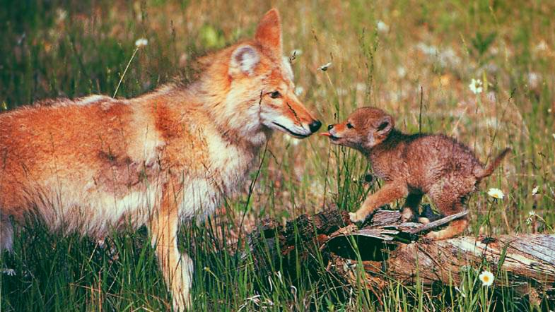 Image: A baby coywolf with his mum.