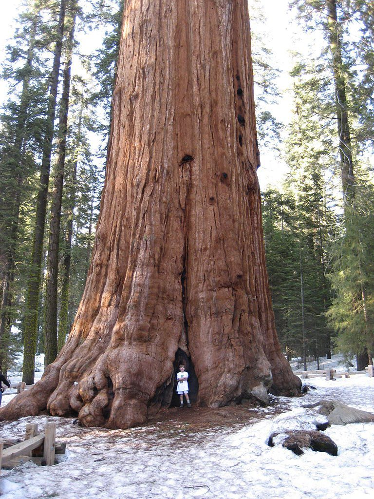 Image: a boy looks like a tiny white dot at the bottom of a sequoia tree trunk