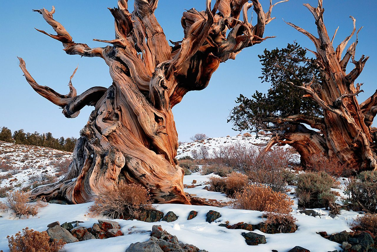 Image: haunting beauty of a Gnarly Bristle cone Pine tree