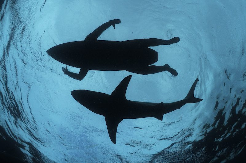 Image: Looking up from below at the silhouette of a surfer on their board with a shark next to them.