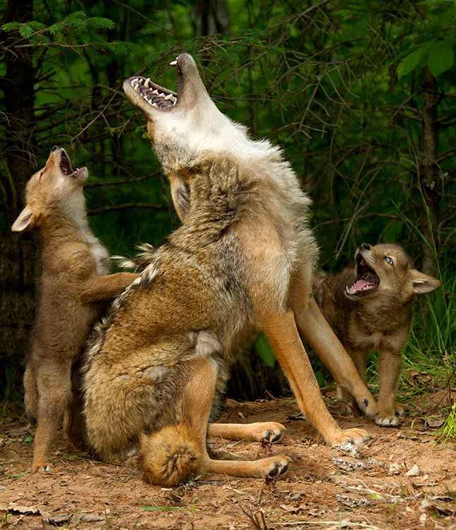 Image: Mother coyote and babies howling